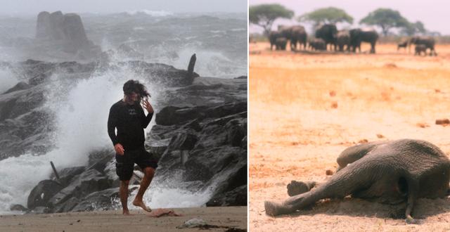 Illustrationsbilder, till höger en elefant som dött av torka i Zimbabwe. TT