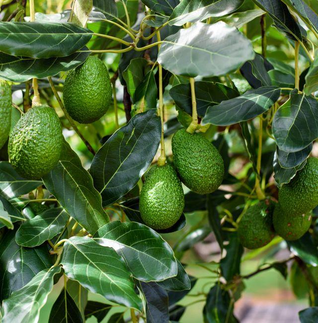 Avocados. Shutterstock