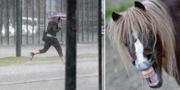Regn i Skåne samt gnäggande häst. TT.