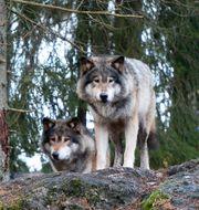Vargar på Kolmården. Arkivbild. Anders Wiklund/TT / TT NYHETSBYRÅN