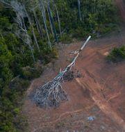 Träd i Brasilien.  Rodrigo Abd / TT NYHETSBYRÅN