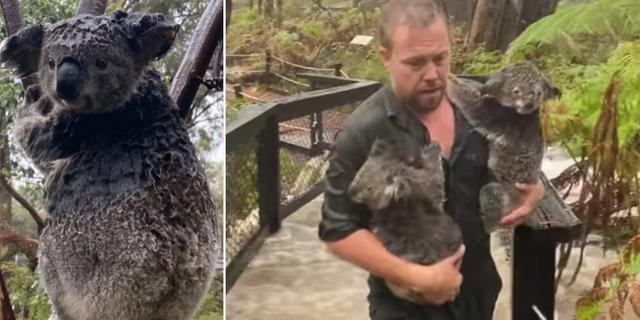 Bilderna visar stora översvämningar på djurparken. Australian Reptile Park