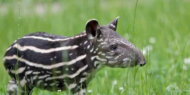 En annan tapirunge än den i artikeln.  Petr David Josek / TT NYHETSBYRÅN