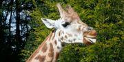 60 giraffer ska säljas. Arkivbild. Pedersen, Terje / TT NYHETSBYRÅN