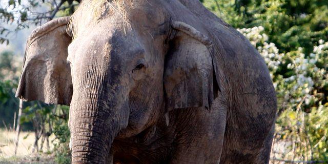 Elefant i Kambodja. Heng Sinith / TT NYHETSBYRÅN
