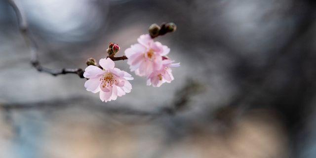 Körsbärsblommorna i Stockholm har redan börjat blomma. Pontus Lundahl/TT / TT NYHETSBYRÅN