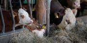 Kor som äter på Tarby gård i Vallentuna. Janerik Henriksson/TT / TT NYHETSBYRÅN