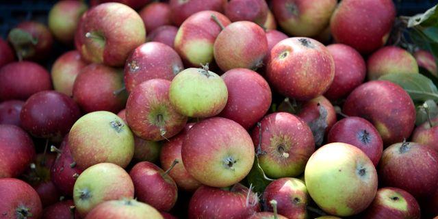 Äpplen. Arkivbild. ANDERS WIKLUND / SCANPIX / SCANPIX SWEDEN