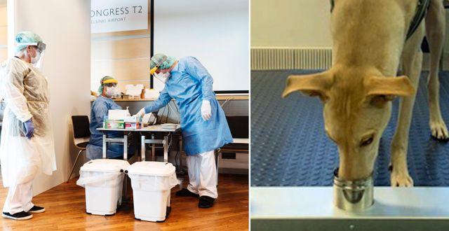 Helsingfors-Vanda flygplats/Den spanska vinthunden Kössi tränas att spåra covid-19. TT/Helsingfors universitet