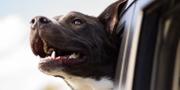 Nu kan även hunden följa med i Uberbilen. Unsplash