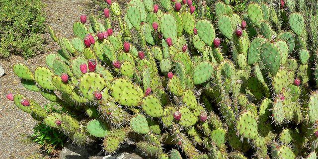 Opuntiakaktusar. Wikimedia/Stan Shebs