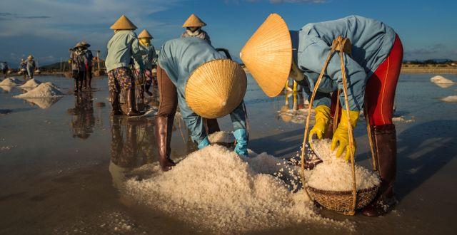 Kvinnor skördar salt i Vietnam. Shutterstock.