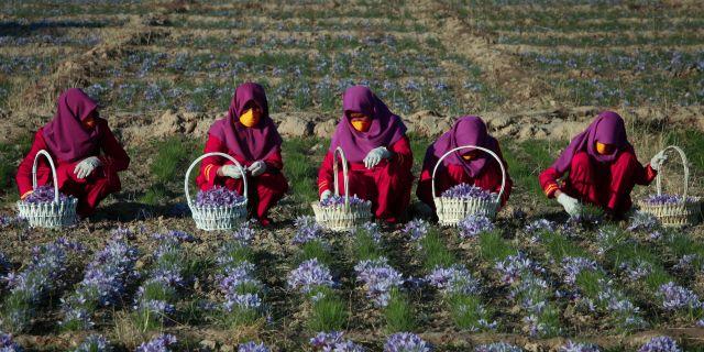 Afghanska kvinnor arbetar på ett saffransfält i Guz̄arah, ett distrikt i provinsen Herat i Afganistan. Arkivbild Hoshang Hashimi / TT NYHETSBYRÅN/ NTB Scanpix