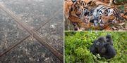 Skogsskövling i Indonesien/Sumatratiger/Bergsgorilla. TT