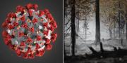 Illustration av viruset/skogsbrand i Älvdalen 2018. TT