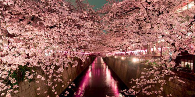 Körsbärsblomningen vid floden Meguro är en av årets vackraste syner i Tokyo. Istock