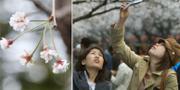 Höstsäsongsblomma/arkivbild från blomningen under våren. TT