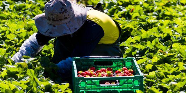 Arkivbild, jordgubbsodling. Grøtt, Vegard / SCANPIX SWEDEN
