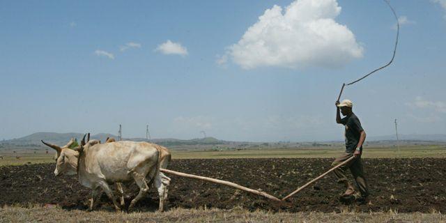 En lantbrukare plogar sin mark strax utanför Addis Abeba, Etiopien/arkivbild.  KAREL PRINSLOO / TT NYHETSBYRÅN