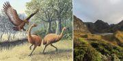 Illustration av utrotade moafåglar/natur i Nya Zeeland. Wikimedia Commons/TT.