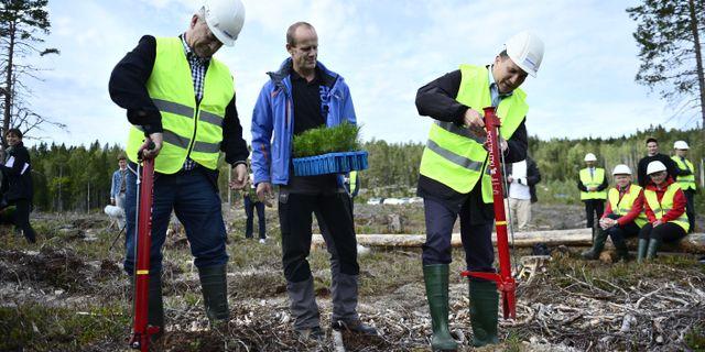 Landsbygdsministern Sven-Erik Bucht (tv) och statsminister Stefan Löfven (th) planterar skog tillsammans med Olof Norgren, skogsskötselchef vid Holmen.  Izabelle Nordfjell/TT / TT NYHETSBYRÅN