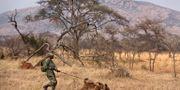 Hundföraren Emmanuel Habimana spårar tjuvjägare i Akagera-parken 2015. Ben Curtis / TT / NTB Scanpix