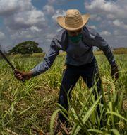 Illustrationsbild: En man slår sockerrör på ett fält i Madruga, Kuba.  Ramon Espinosa / TT NYHETSBYRÅN