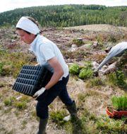 Två personer planetrar skog. Johan Gunséus / TT / TT NYHETSBYRÅN