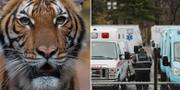 Tigern Nadia. Wildlife Conservation Society/TT