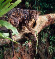 Arkivbild: Trädleopard i Borneos regnskog. Alain Compost / TT NYHETSBYRÅN