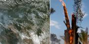 Satellitbilder visar bränderna i Amazonas. TT