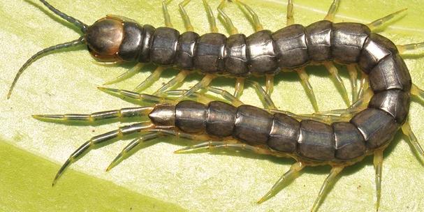 Scolopendra cataracta Zoo Keys