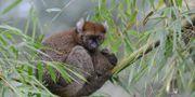 En större bambulemur på Madagaskar.  RUSSELL A. MITTERMEIER / Global Wildlife Conservation