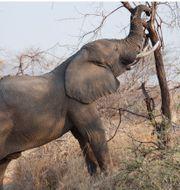 Afrikansk elefant, Guillou. Arkivbilder. TT