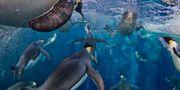 Pingviner i Antarktis. Arkivbild. Paul Nicklen / TT NYHETSBYRÅN/ NTB Scanpix
