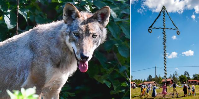 Varglika hundar och dans – två områden där lagstiftningen är för hårt reglerad, enligt Expressens ledarsida. TT