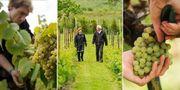 Att besöka svenska vingårdar har blivit en ny trend, men Carl-Magnus och Marie-Louise Hedin på Villa Mathilda på Kullahalvön har odlat vin ända sedan 2006. Getty/Villa Mathilda/Getty