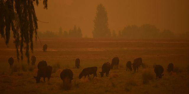 Boskap i Towamba i New South Wales under brandsäsongen. PETER PARKS / AFP
