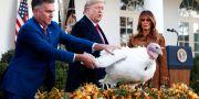 Donald Trump benådar en kalkon, en tradition i USA på thanksgiving. TOM BRENNER / TT NYHETSBYRÅN