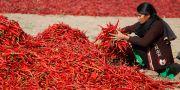Arkivbild. En kvinna sorterar chili i Indien tidigare i år.  Ajit Solanki / TT NYHETSBYRÅN/ NTB Scanpix