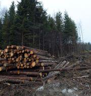 Arkivbild, skogsavverkning. Fredrik Sandberg/TT / TT NYHETSBYRÅN