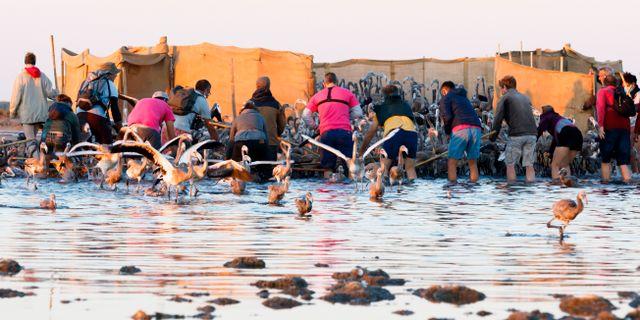 Fågelräkning i floddeltat Camargue, Frankrike. Fabrice Pavanello / TT NYHETSBYRÅN