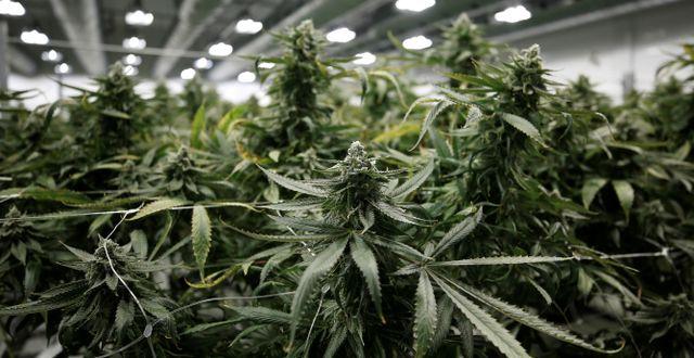 Cannabisplantor på Canopy Growths fabrik i Smiths Falls, Ontario, Kanada.  CHRIS WATTIE / TT NYHETSBYRÅN