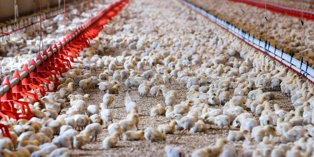 En kycklingfarm. Lars Pehrson / SvD / TT / TT NYHETSBYRÅN