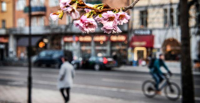 Varmt vinterväder. De japanska körsbärsträden har börjat blomma i Stigbergsparken på Södermalm.  Tomas Oneborg/SvD/TT / TT NYHETSBYRÅN