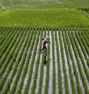 Soptippar och risodlingar är exempel på metankällor.  Biswaranjan Rout / TT NYHETSBYRÅN
