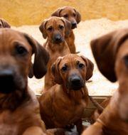Illustrationsbild: Hundarna på bilden har ingenting med texten att göra.  Markus Schreiber / SCANPIX