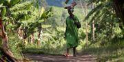 Illustrationsbild från ett bananplantage i västra Uganda.  HELENA LANDSTEDT / TT NYHETSBYRÅN