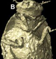 Skiss av skalbaggearten, modell av silesaurus. Uppsala universitet/Wikipedia