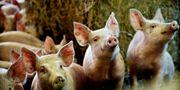 Svenskarnas köttkonsumtion minskar för första gången sedan 1990-talet. Patrik Lundin / SvD / TT / TT NYHETSBYRÅN